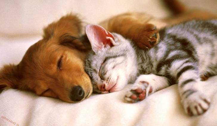 Кошка спит вместе с собакой