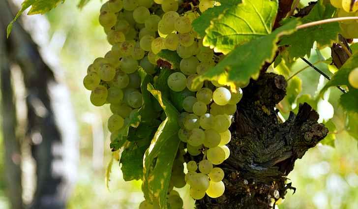 Лоза с белым виноградом